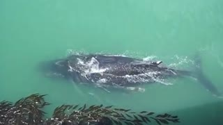 Humpback whale surprises visitors at California pier