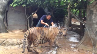 Tiger Bath Time - Video