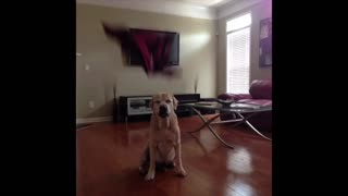 Labrador dresses himself for the game - Video