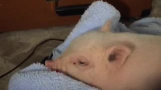 Mini Pig falls asleep to relaxing music - Video