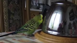 Budgie is talking to the teapot - Video