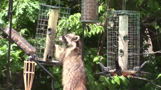 Nature with raccoons