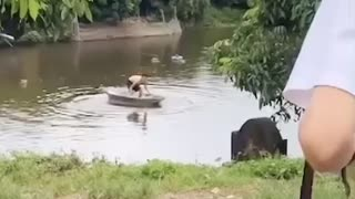 Viral Dog is saving a man from drowning in the river