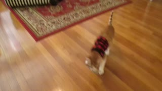 Amadeus the cat loves to play fetch - Video