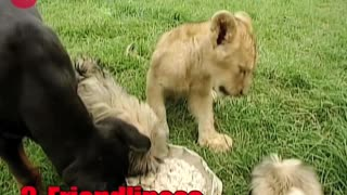 Tigers vs Lions - Video