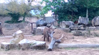 Elephant baby versus tree - Video