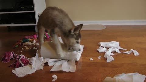 Tiny Husky puppy vs. paper towel