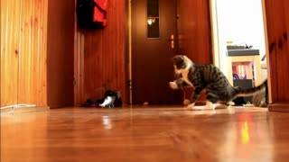 A cat and a helicopter. - Video