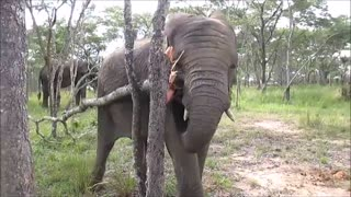 Ambicioso elefante joven intenta derribar un árbol - Video