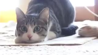 Funny Cat Wiggle - Video