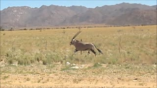 Wild Oryx races alongside speeding car