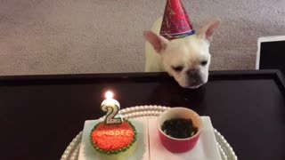 French Bulldog celebrates birthday with special homemade cake - Video