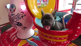 French Bulldog puppy enjoys spinning kiddie ride