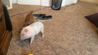 Chihuahua and Mini Pig have epic wrestling battle - Video