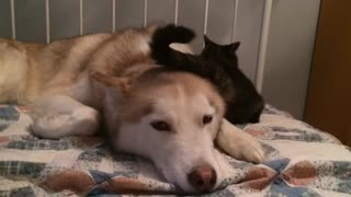 Cat annoys Husky with her tail