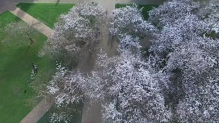 Filmación con drone capta las flores de cerezo en el campus de una universidad - Video