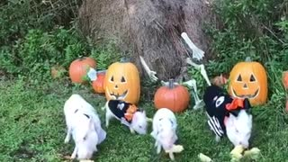 Family of mini pigs enjoy Halloween treats - Video