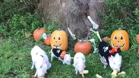 Family of mini pigs enjoy Halloween treats