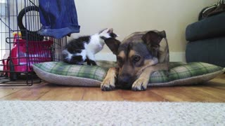 Tiny kitten meets big dog - Video