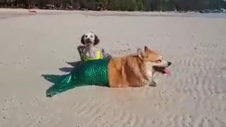 Dog models mermaid costume at the beach - Video