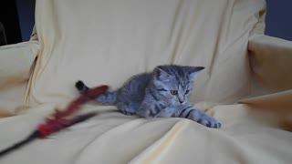 British Shorthair Kitty - Video