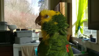 Talented bird sings opera music like a pro