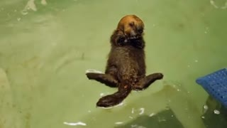 Little orphan otter - Video