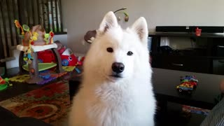 Samoyed howls when asked  - Video