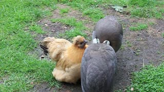 Guinea Fowl still love their foster Mum - Video