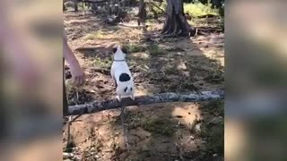Jumping Jack Russell uses environment to fetch stick