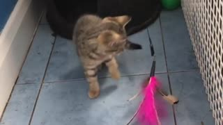 2 Kitten Playing With The Same Toy