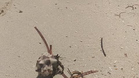 Crab on the beach, part 2