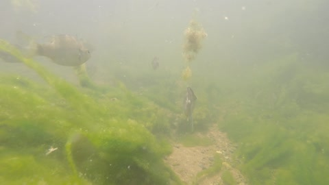Underwater video of fish swimming in the Pedernales River in Texas.