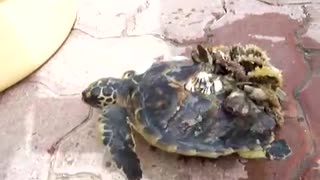 Turtle rescue from the sea in Mirfa/UAE