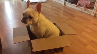 French Bulldog unsure what to do with cardboard box - Video