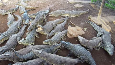 Giant Crocodiles Show Their Powerful Jaws In Feeding Demonstration