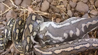 Carpet Python Swallows Chicken Whole - Video