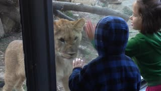 Lion Cub Wants To Play - Video