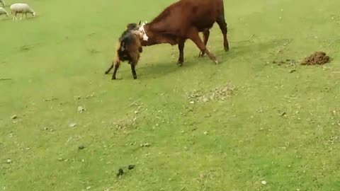 FIGHT!! Goat Fighting With Cow
