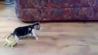 Funny cat kidding with lizards - Video