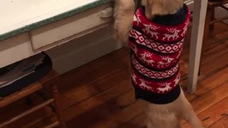 Brown dog in red sweater trying to reach for bread on table - Video