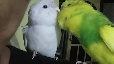 Parrot only speaks to new birdie friend in English