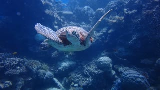 Scuba divers get up close & personal with sea turtle