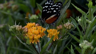 Dark Butterfly Collects Nectar From Flower