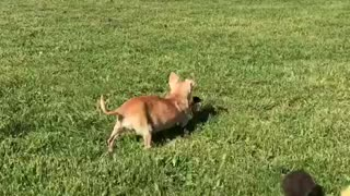 Chihuahua following brown duckling