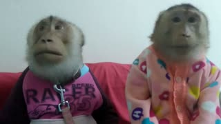 Monkey couple enjoy snack before bed