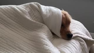Lazy Golden Retriever refuses to get out of bed - Video