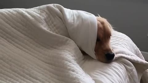 Lazy Golden Retriever refuses to get out of bed