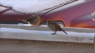 Birds Out Enjoying the Nice Weather  - Video