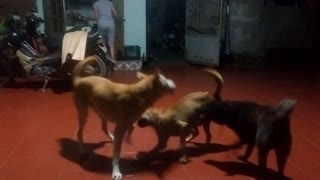 three dogs  - Video